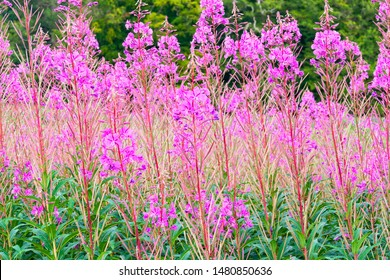 Close up of a group of tall pink Rosebay Willowherb wildflowers growing in an English meadow.