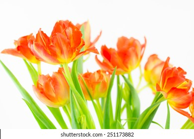 Close up of a group of vivid bi-colored orange and yellow  tulips