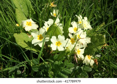 A close up of a group of wild yellow primrose flowers growing amongst the grass of a Devon roadside in Spring