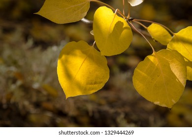 Close up of a group of yellow autumn leaves. The sun shining on the leaves