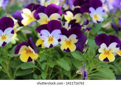 Close up of a group of yellow, purple and white violas with a blurred background in spring - Shutterstock ID 1411716761