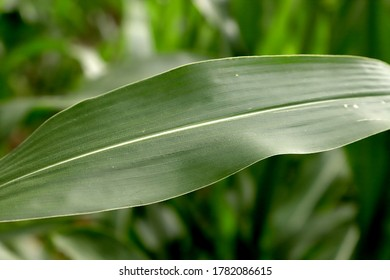 Close up of growing corn leaves.