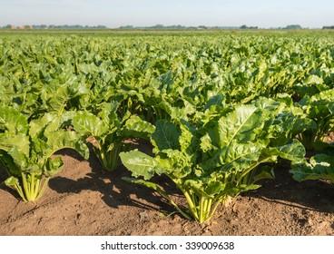 Nahaufnahme von Zuckerrüben oder Beta vulgaris subsp. vulgaris var. Altissima Pflanzen auf einem großen Feld an einem sonnigen Sommertag.