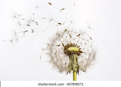 Close up of grown dandelion and dandelion seeds isolated on white background