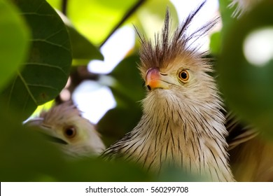 Close up of Guira cuckoo in a tree, Amazon, Brazil
