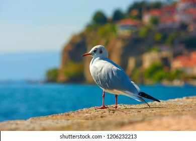 Close up of gull in Ohrid lake with Ohrid city in distance - Macedonia. Animal concept.