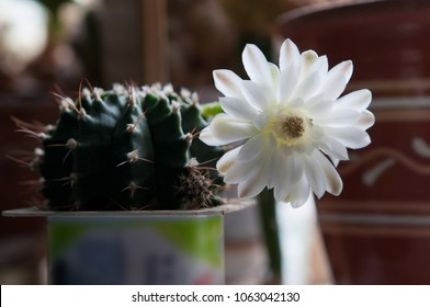 Night blooming flower images stock photos vectors shutterstock close up of gymnocalycium cactus with one beautiful white blooming flower on a window sill among mightylinksfo