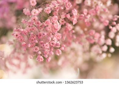 Close up of gypsophila in pink color, pink gypsophila