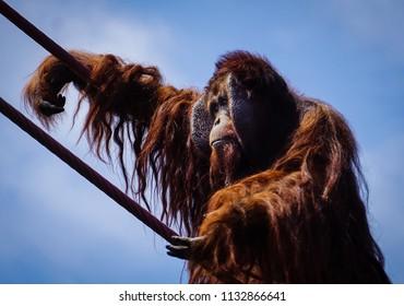 close up of hairy male orangutan