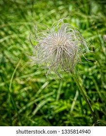 Close up of a hairy weed in the grass