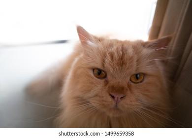 Close up of Half-Persian orange long hair cat with yellow eyes.Portrait of beautiful orange cat looking at camera.Orange cat has long whiskers