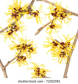 close up of the hamamelis flower