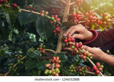 Close Up hand of farmers picking branch of arabicas Coffee Tree on Coffee tree at Nan Province Northern Thailand,Coffee bean Single origin words class specialty.