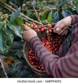 Close Up hand of farmers picking branch of arabicas Coffee Tree on Coffee tree at Doi Chaang in Thailand, Coffee bean Single origin words class specialty.