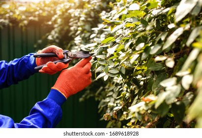 Close up hand of gardener in protective gloves, he is cutting with gardening scissor dry leaves and branches. Intelligent gardening concept