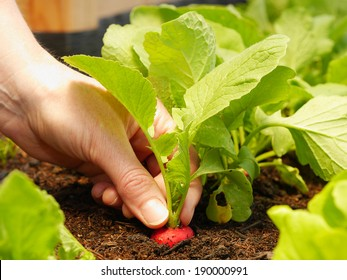close up of hand harvesting a red radish