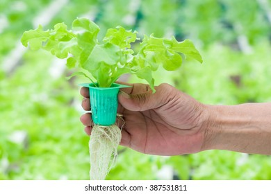 Close up hand holding Hydroponics plant. Hydroponics method of growing plants using mineral nutrient solutions, in water, without soil.