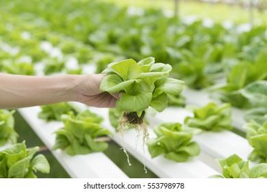 Close up hand holding hydroponics plant