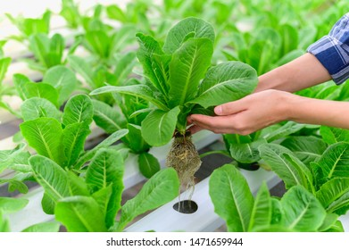 Close up hand of hydroponics vegetable farmer harvesting cos lettuce from hydroponics farm.Hydroponics is a method of growing plants without soil by instead using mineral nutrient solutions in a water