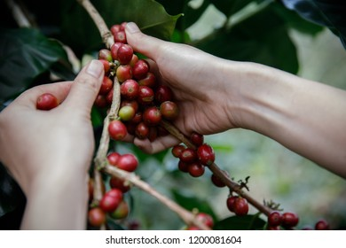 Close up hand keep fresh organic red coffee beans for harvesting on coffee tree,