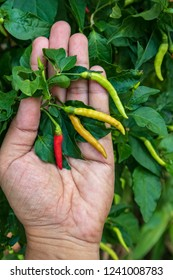 Close up of hand picking chili from the garden., farmer's hand keeping fresh chili pepper plant