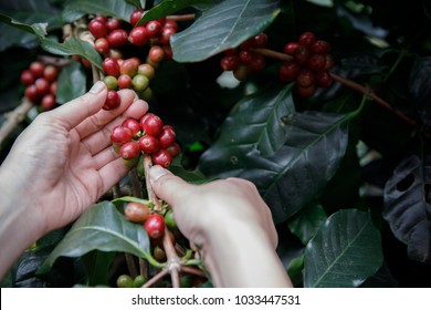 Close up hand picking coffee red beans on tree