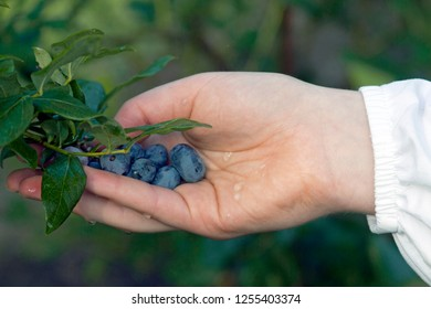 Close up of a hand picking ripe, wet blueberries in a forest in early summer