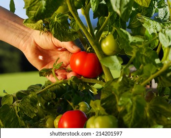 close up of hand picking a tomato from the garden