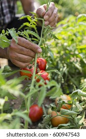 Close up of Hand Picking  Tomatoes From the Field,Organic Farming. Soft Focus
