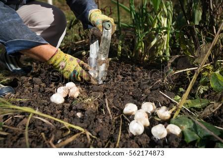 Close Hand Planting Bulbs Flower Bulb Stock Photo Edit Now