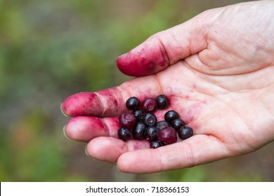 close up of a hand with red fingers holding a bunch of fresh picked huckleberries