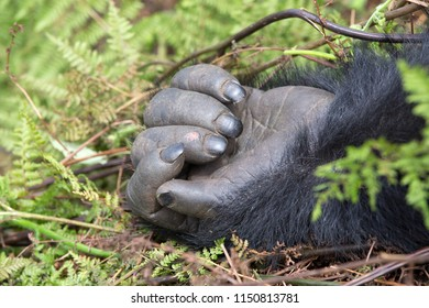 A close up of the hand of a young male gorilla in the mountain jungles of Rwanda.
