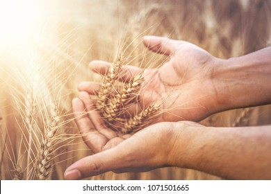 Close up of hands examining wheat growth, India haryana
