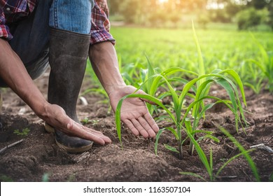Close up hands of farmer examining young corn maize crop plant in cultivated agricultural field.