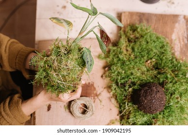 close up of hands holding kokedama , diy japanese decoration with plants and moss while at home with soil and rope. learning home gardening
