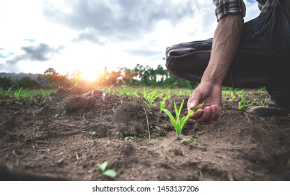 Close up hands of young farmer examining young corn maize crop plant in cultivated agricultural field.