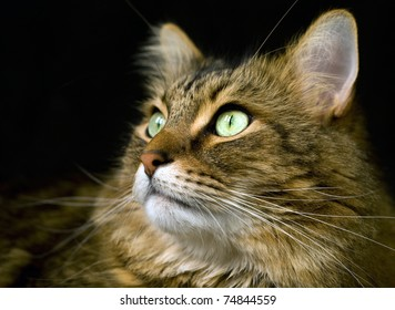 Close up of handsome adult maine coon cat's face on black background.