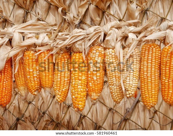 Close up of hanging dried corn