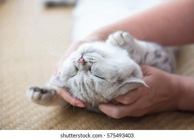 Close up of happy cat smile and sleeping in hand at cat cafe shinjuku tokyo Japan.