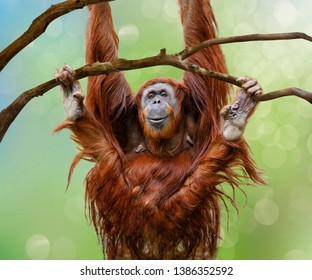 Close up of happy female Orangutan swinging from tree branch