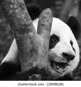 Close up of a happy giant panda hugging a tree trunk