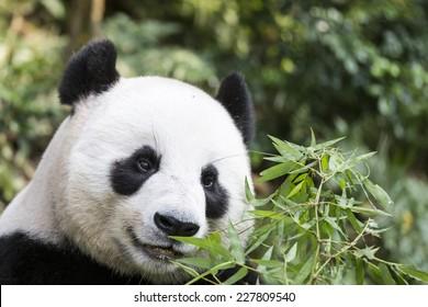 Close up of a happy panda