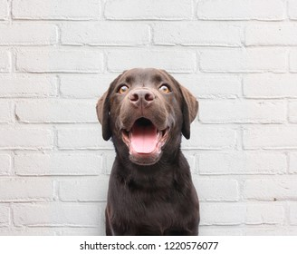 Close up of happy puppy dog smiling dog against white brick wall background