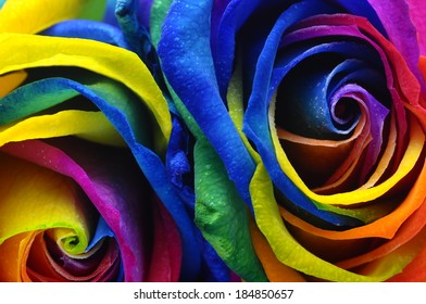 Close up of happy rose : frost rainbow flower with colored petals