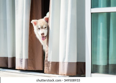 Close up of happy siberian husky puppy playing hide and seek