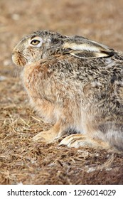 Close up of a hare sitting on the ground