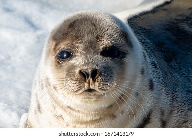 Close up of a harp seal's face. The animal has a soft grey fur with dark spots, dark black eyes, heart shaped nose, and long whiskers.The harbor seal has white snow in the background.