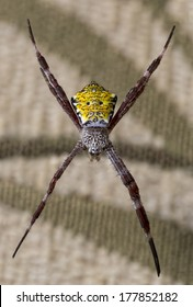 Close up of a Hawaiian Garden Spider