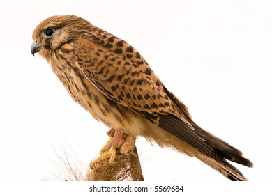 close up of hawk, isolated on white background