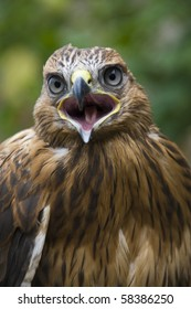 close up of hawk with open mouth on blurred background